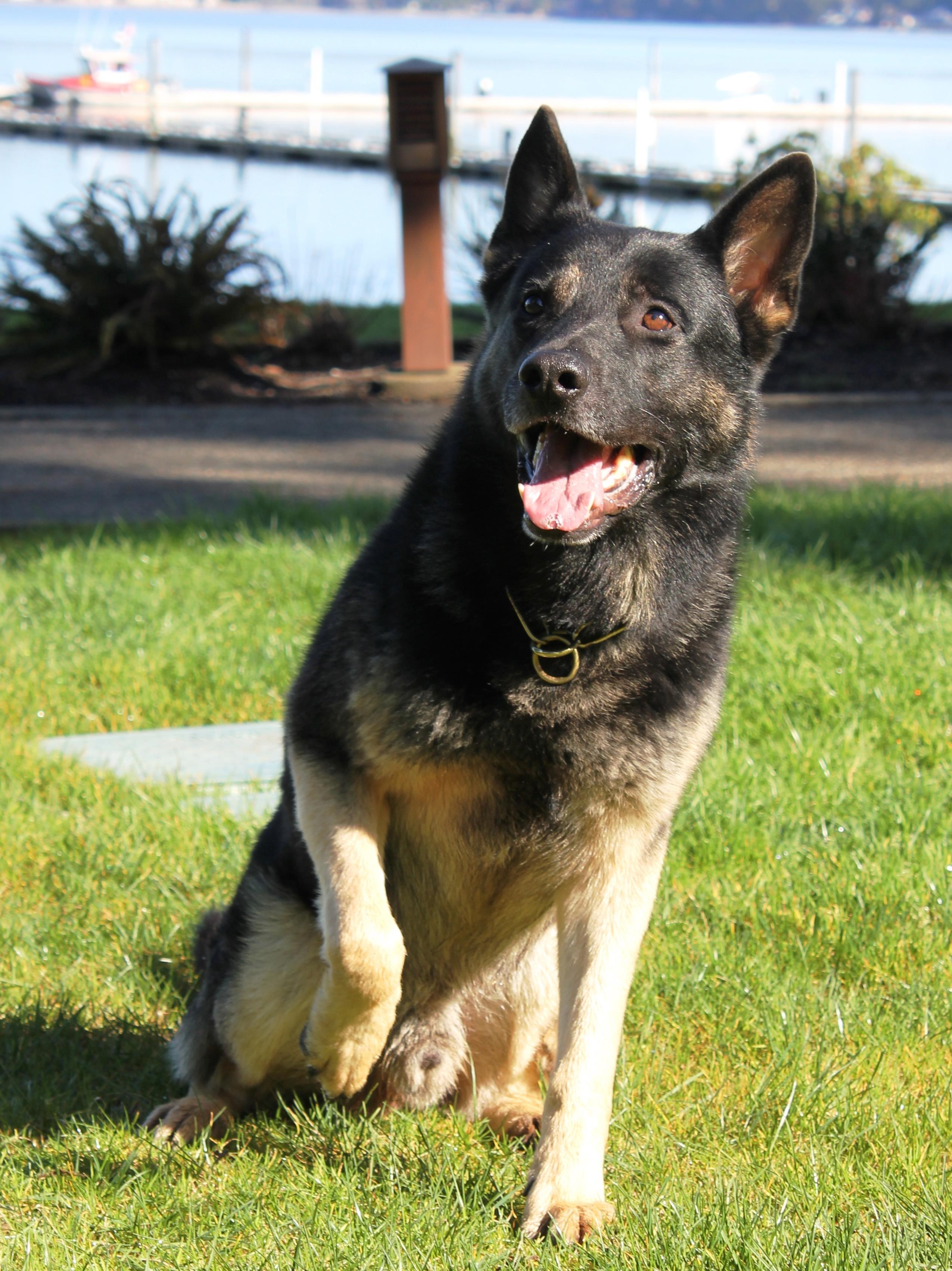 - companion dog