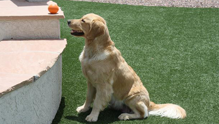 comanion dog